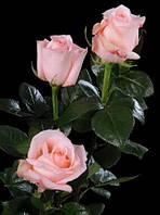 "Роза ""Ангажемент"" (цветок нежно-розового цвета чайно-гибридная)"