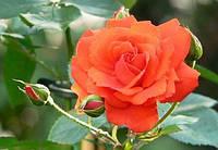 """Сорт розы""""Анжелика"""" (цветок оранжевый)"""