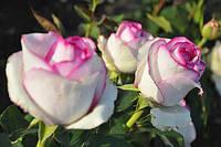"Сорт розы""Белла Вита"" (бело-розовая, биколор, чайно-гибридная)"