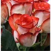 """Сорт розы""""Блаш"""" (кремовая с алым краем роза чайно-гибридная, биколор)"""