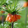 Фрітіларія Fritilaria Imperialis Aurora (рябчик імператорський, царська корона) (діам. 5 см)