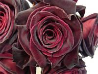 """Сорт розы""""Блэк Бьюти"""" (бархатная бордовая роза чайно-гибридная)"""
