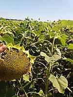Семена подсолнечника НСХ ТАУРУС под Евролайтинг , 113 дней, А-Е,  Высокоурожайный - 5,3 т/га Пластичный гибрид