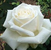 """Сорт """"Боинг"""" (белая роза чайно-гибридная)"""