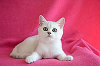 Британские котята окраса Серебристая Шиншилла, фото 1