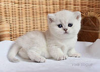 Британские котята редкого окраса Серебристая шиншилла