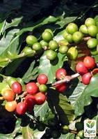 """Кофе """"Арабика"""" рост 10-15 см"""