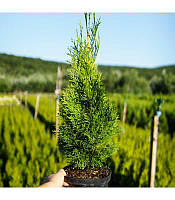 Thuja occidentalis 'Smaragd' Туя західна 'Смарагд'(рос.:Thuja occidentalis 'Smaragd' Туя западная 'Смарагд'),C2-C3,40-60см