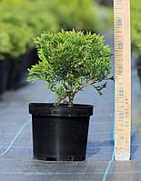 Туя западная Даника (Thuja occidentalis Danica), фото 1