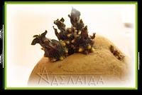 Сорт картофеля - семеноводство и репродуцирование семян