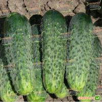 Огурец Каролина F1 10 шт (Lark Seeds) (перефасовано Vse-semena), фото 1