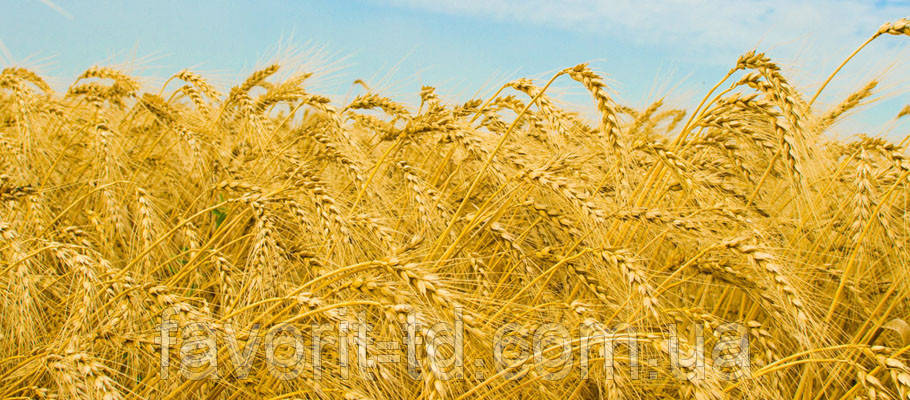 Сорт озимой пшеницы Одесская 267