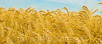 Озимая пшеница Оградська (элита)