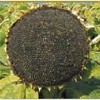 Семена подсолнечника Трансол, Syngenta