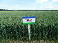 Озима пшениця Тобак. ТОБАК - Пшениця екстра класу!