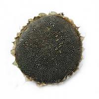 Семена подсолнечника АС 33101 КЛ (толерантен к евролайтнингу) НОВИНКА!