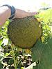 Семена подсолнечника НСХ 6042, устойчив к пяти расам заразихи, A-Е.110-115 дней, Нови Сад / Сербия. Стандарт
