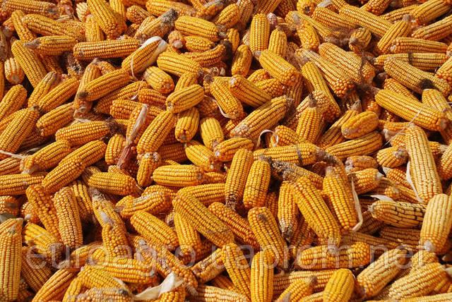 Прекрасные европейские перспективы для украинской кукурузы