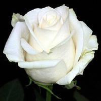 """Сорт розы""""Венделла"""" (белая роза чайно-гибридная)"""
