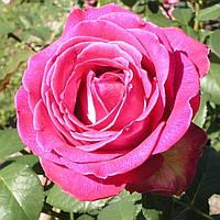 "Сорт розы""Верди"" (биколор розовая роза чайно-гибридная)"