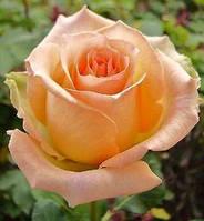 """Сорт розы""""Версилия"""" (редкая персиковая роза чайно-гибридная)"""