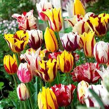 Луковицы тюльпанов