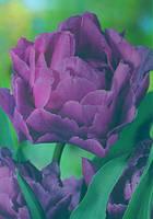 Луковица Тюльпан махровый  Блу Даймонд  (Blue Diamоnd ) 10 /11  Яскрава