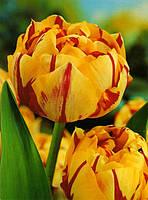 Луковица Тюльпан махровый  Голден Ницца ( Golden Nizza) 10 /11  Яскрава