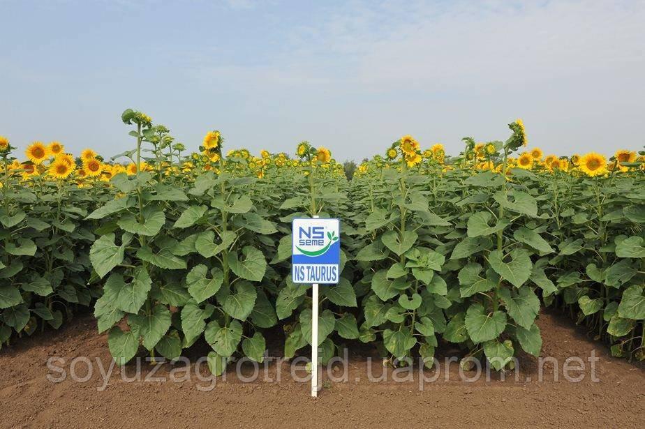 НС Таурус самый урожайный Clearfield гибрид Сербской селекции