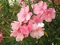 Эфирное масло розового дерева, 1 кг