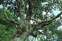 Эфирное масло чайного дерева, 1 кг