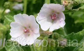 Алтей лікарський, насіння 0,5 г, Яскрава, фото 2