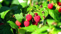 Садоводство в Украине с каждым годом теряет популярность