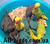 Выкормыш ожерелового попугая
