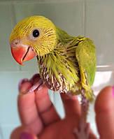 Ожереловый попугай выкормыш