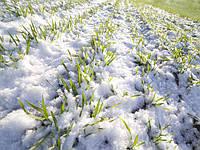 Озима пшениця – як не допустити зимової гибелі