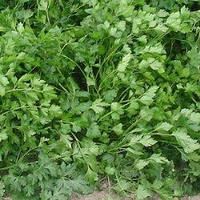 Семена петрушки листовой Риалто (Rialto). Упаковка 50 гр. Производитель Bejo Zaden