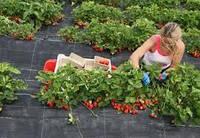 Агроткань против сорняков полипропиленовая чёрная , 70 гр/м²