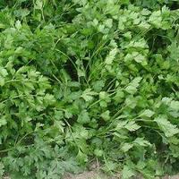 Семена петрушки листовой Риалто (Rialto). Упаковка 500 гр. Производитель Bejo Zaden