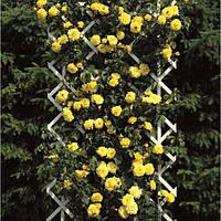 Саженцы роз Голд Штерн  (Желтая)