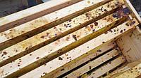 Нозематоз бджіл: ознаки, лікування