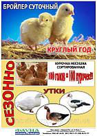 Суточные цыплята несушки