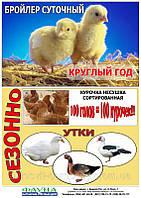 Цыплята бройлеры мясо-яичной породы