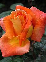 Роза чайно-гибридная Луи де Фюнес (Louis de Funes)