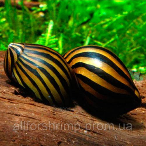 Улитка Неретина (Zebra Nerite Snail)