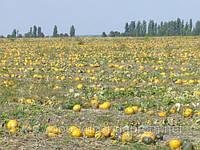 Семена тыквы голосемянная для посева тыквы  Посевной материал