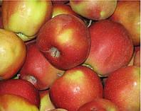 Саженцы яблони Глостер 2хлетние