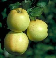 Саженцы яблони Хоней голд