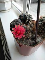 Цветет редкий кактус