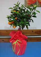 Мандарин комнатный, цитрусовые растения 70-80см., фото 1
